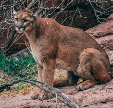 Un corredor mató a un león de montaña en Colorado, EEUU.