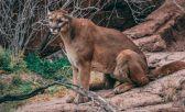 Un corredor mató a un león de montaña en Colorado, EEUU