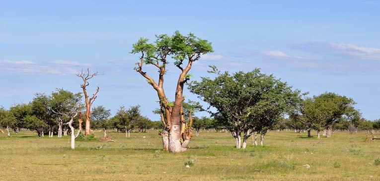 Árbol de moringa en el Etosha National Park, Namibia