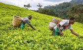 El té keniano es la bebida más habitual del